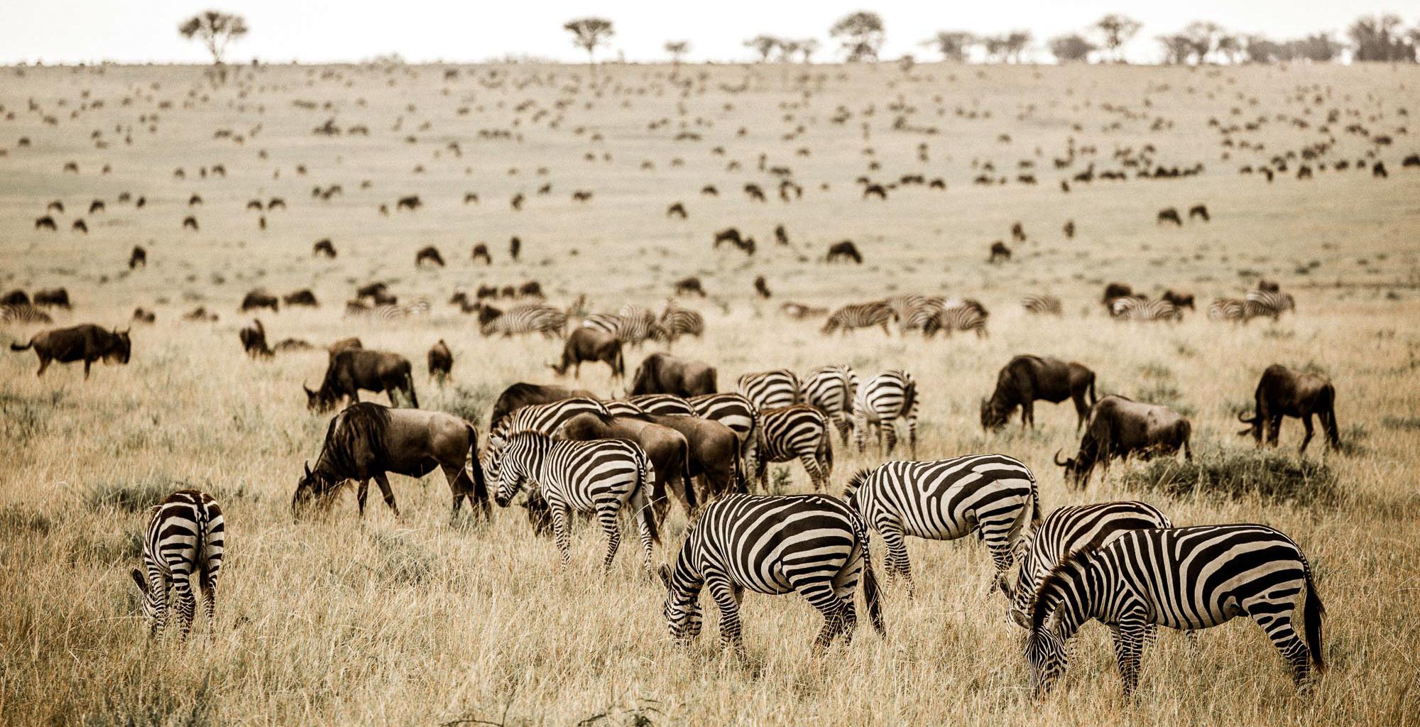 Tanzania-Wildlife-Zebra