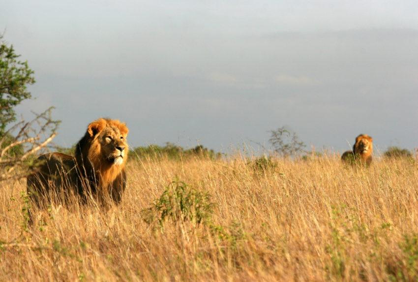 Kenya-Nairobi-Kenya-Nairobi-Wildlife-Lion