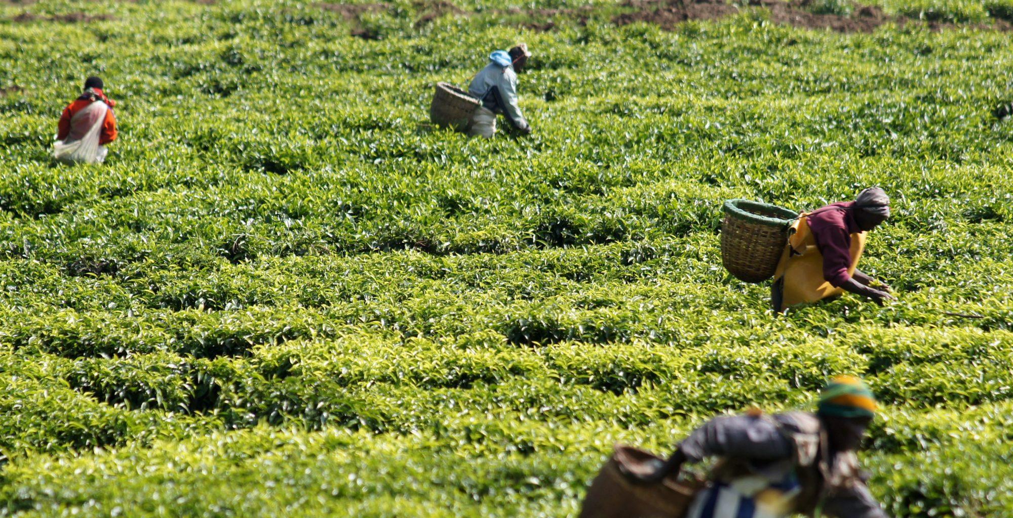 Lake Kivu Tea Plantation