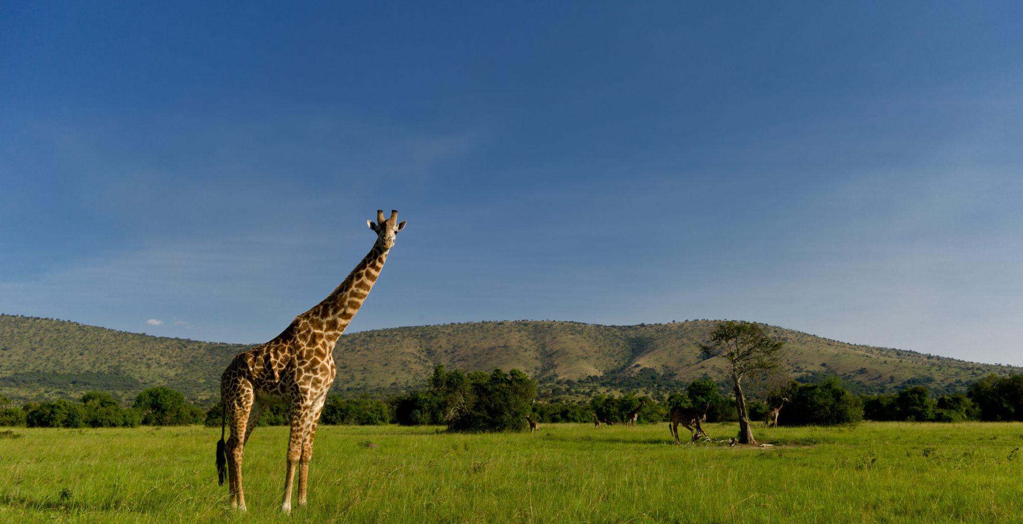 Giraffe on Akagera plain
