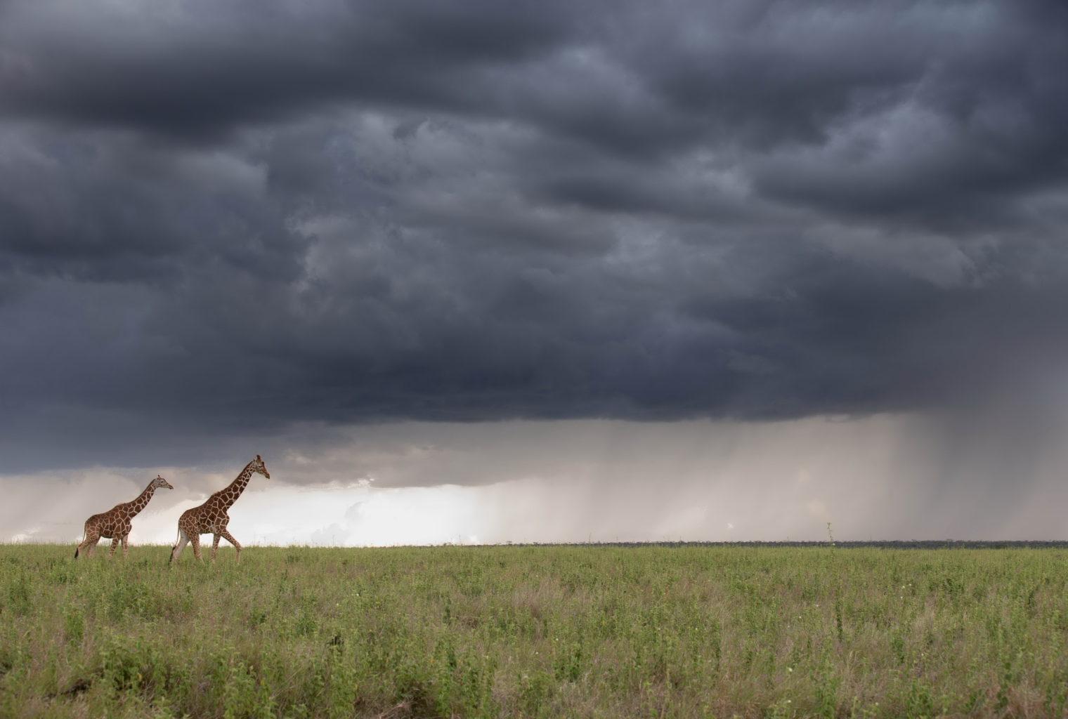 Segera Retreat Kenya Giraffe