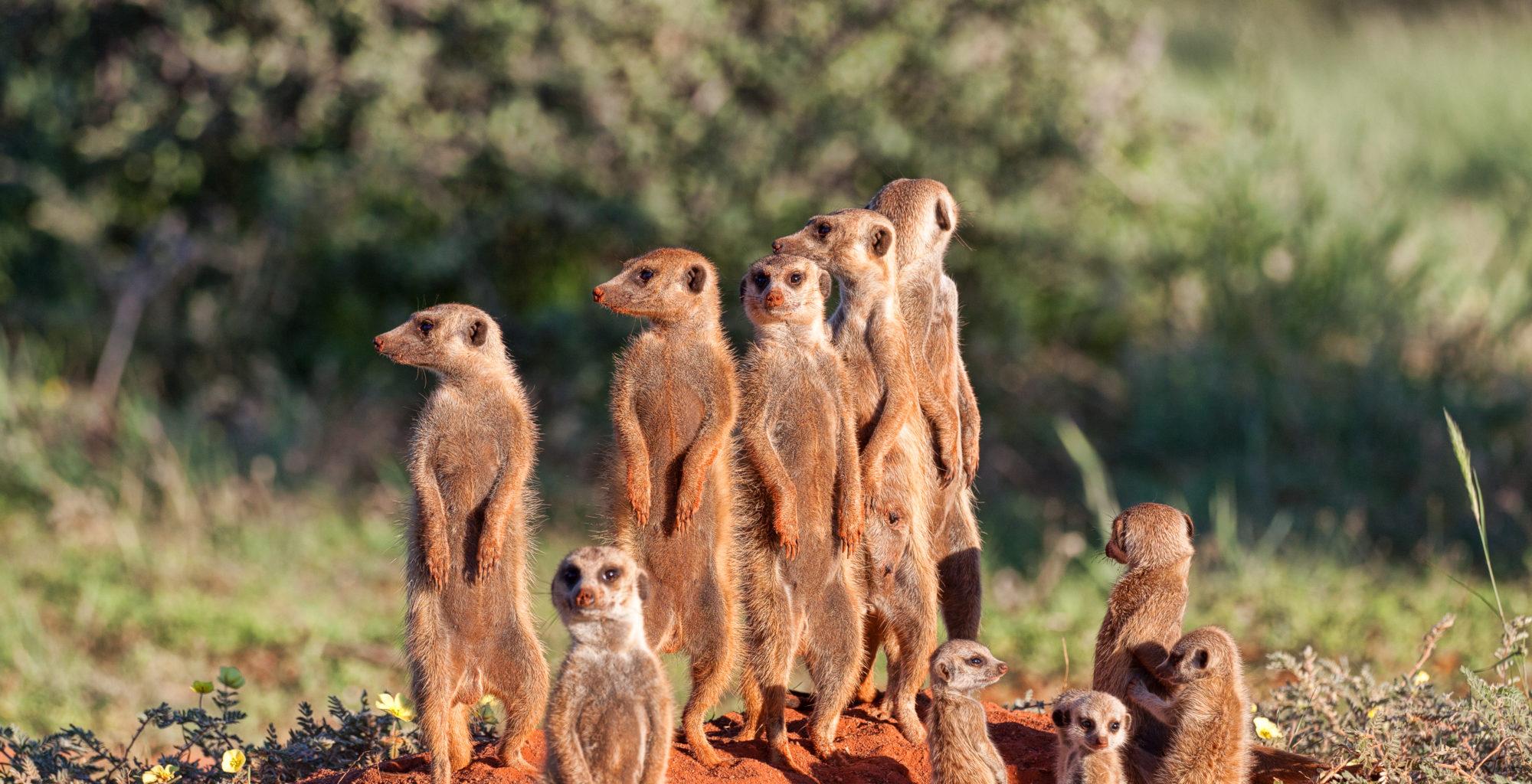 Tswalu Kalahari South Africa Meerkats