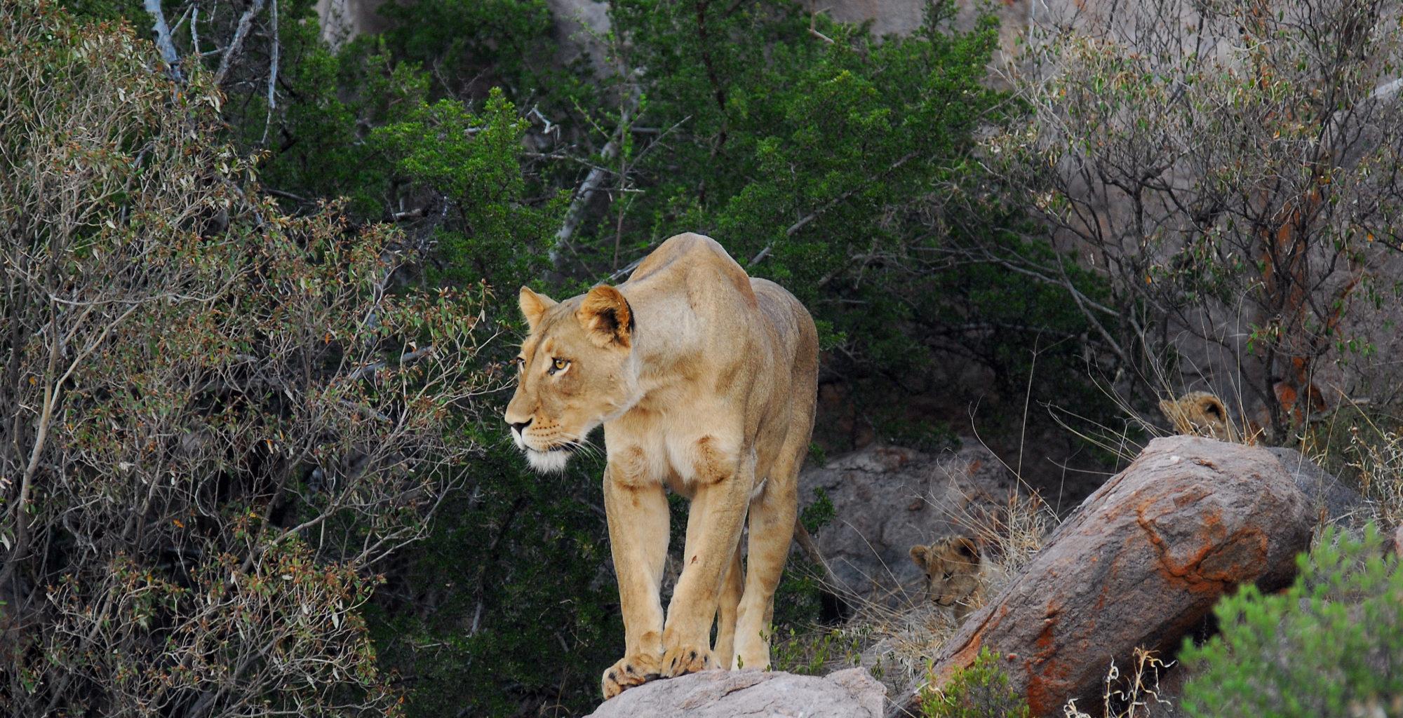 Tswalu Kalahari South Africa Lioness