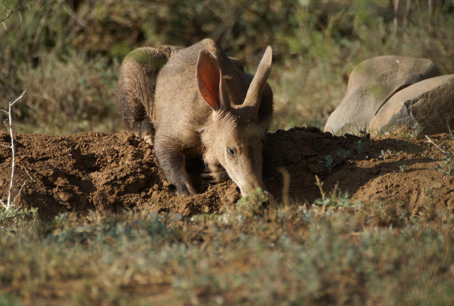 Aardvark in The Great Karoo