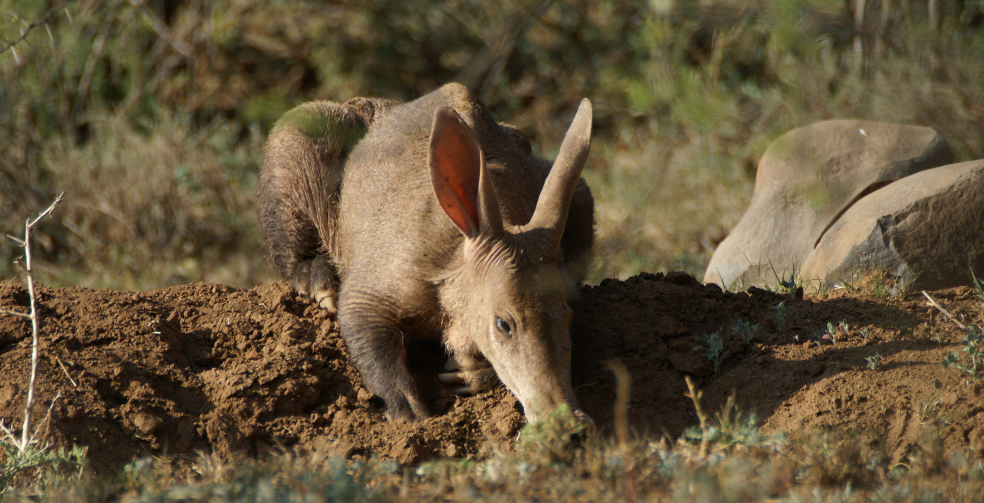 Aardvark in The Great Karoo