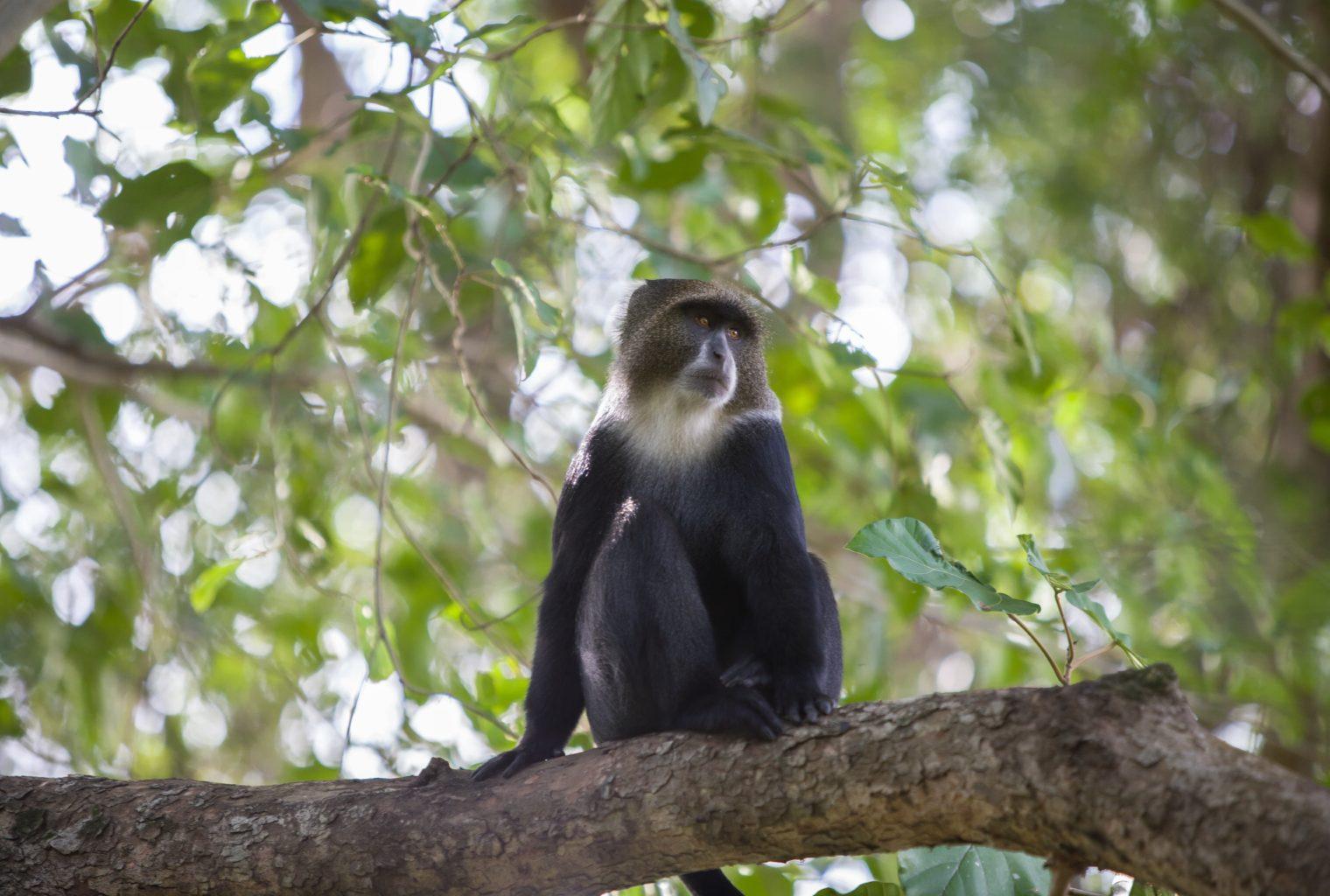 Blue monkey Rivertrees Tanzania