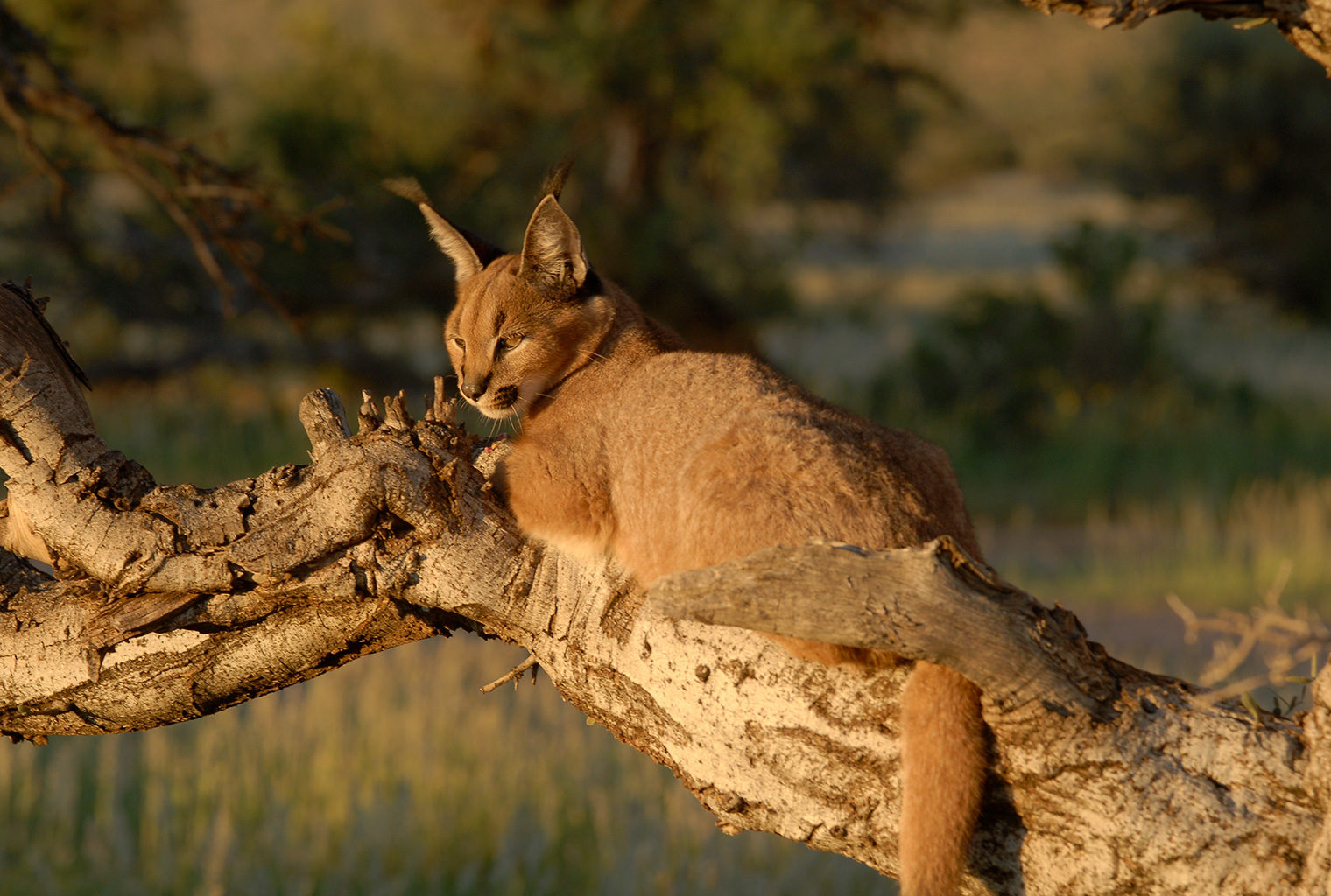 CaracaTswalu-Kalahari-South-Africal