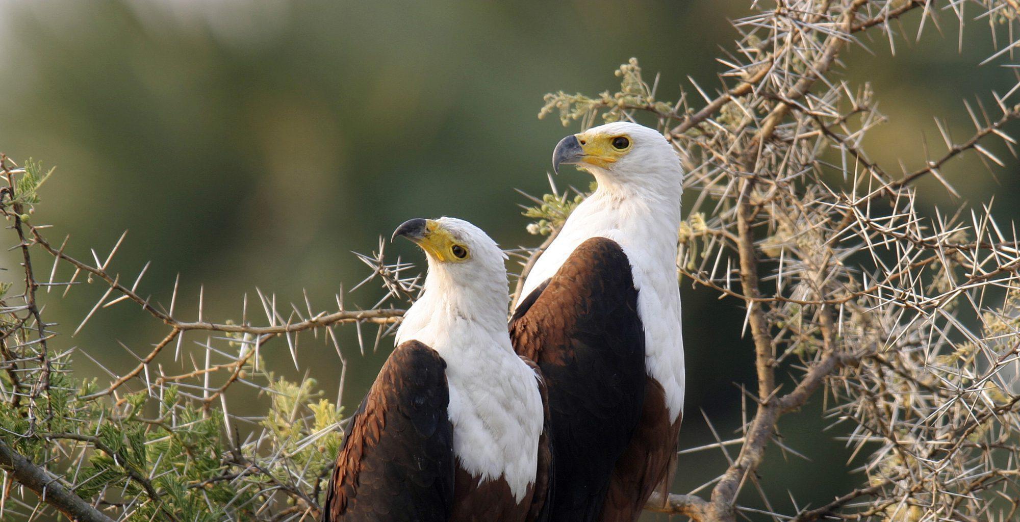 Tanzania-Katavi-Fish-Eagle