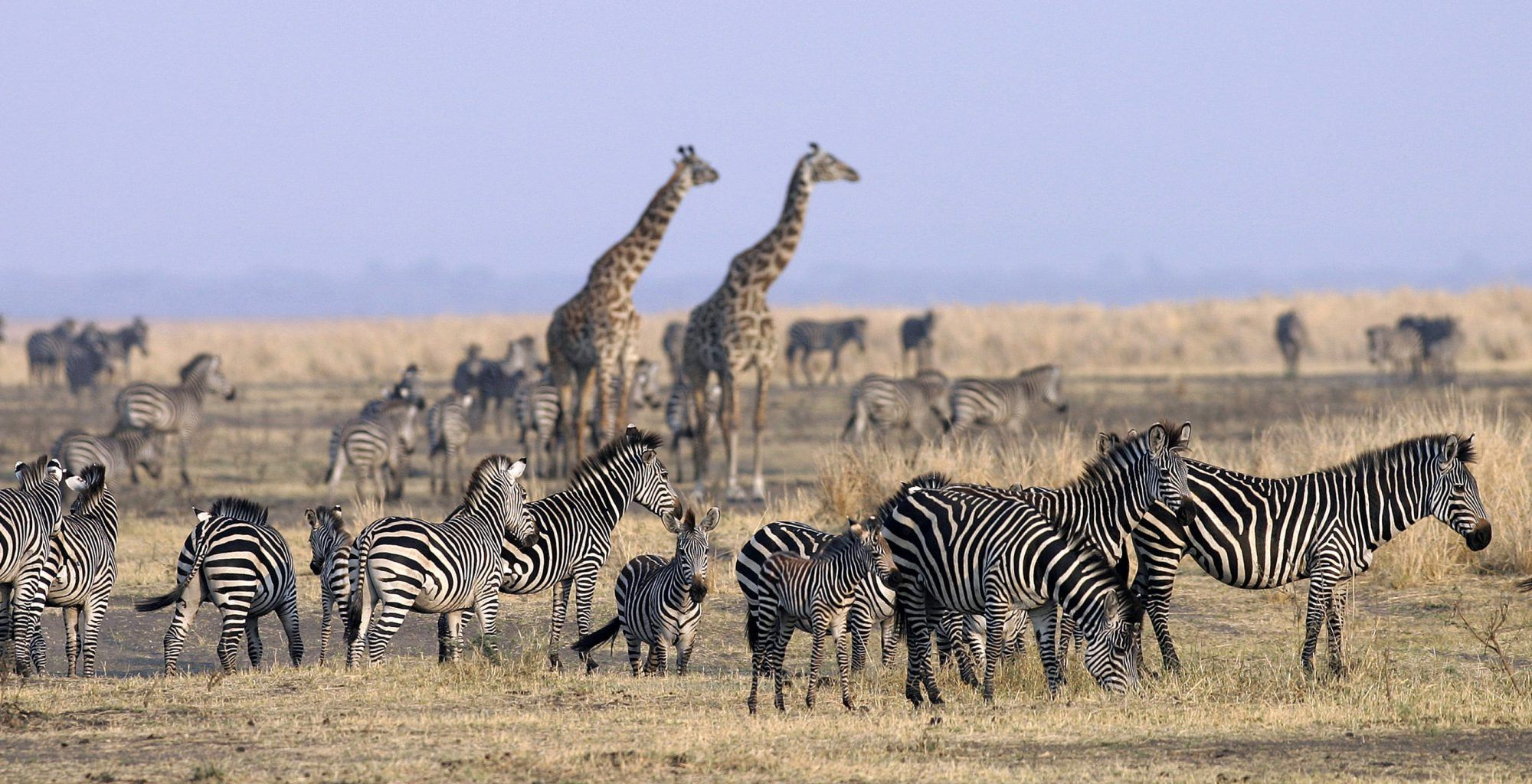 Tanzania-Katavi-Zebra