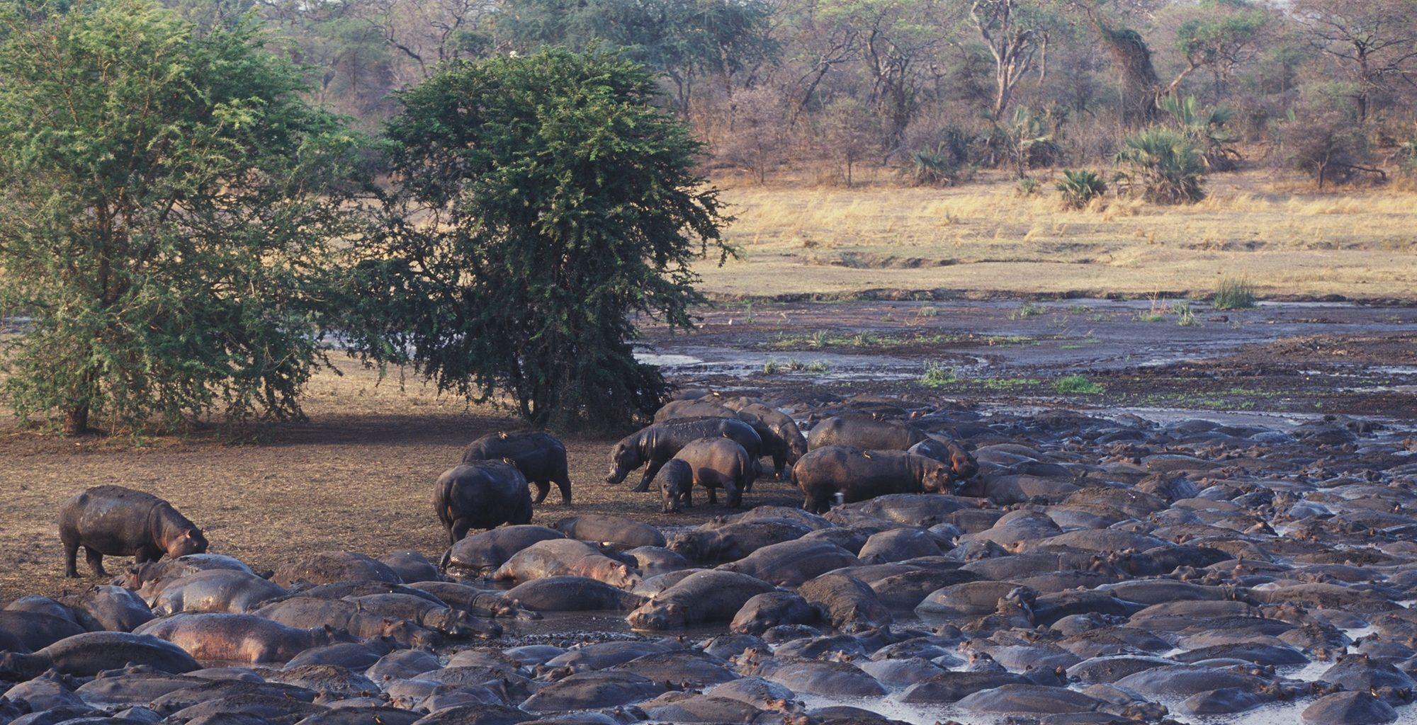 Tanzania-Katavi-Hippo