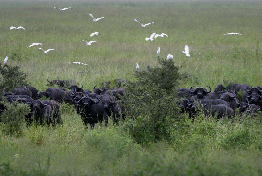 Tanzania-Katavi-Buffalo-Hero