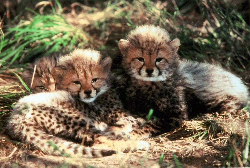 Camp Jabulani South Africa Living Cheetah