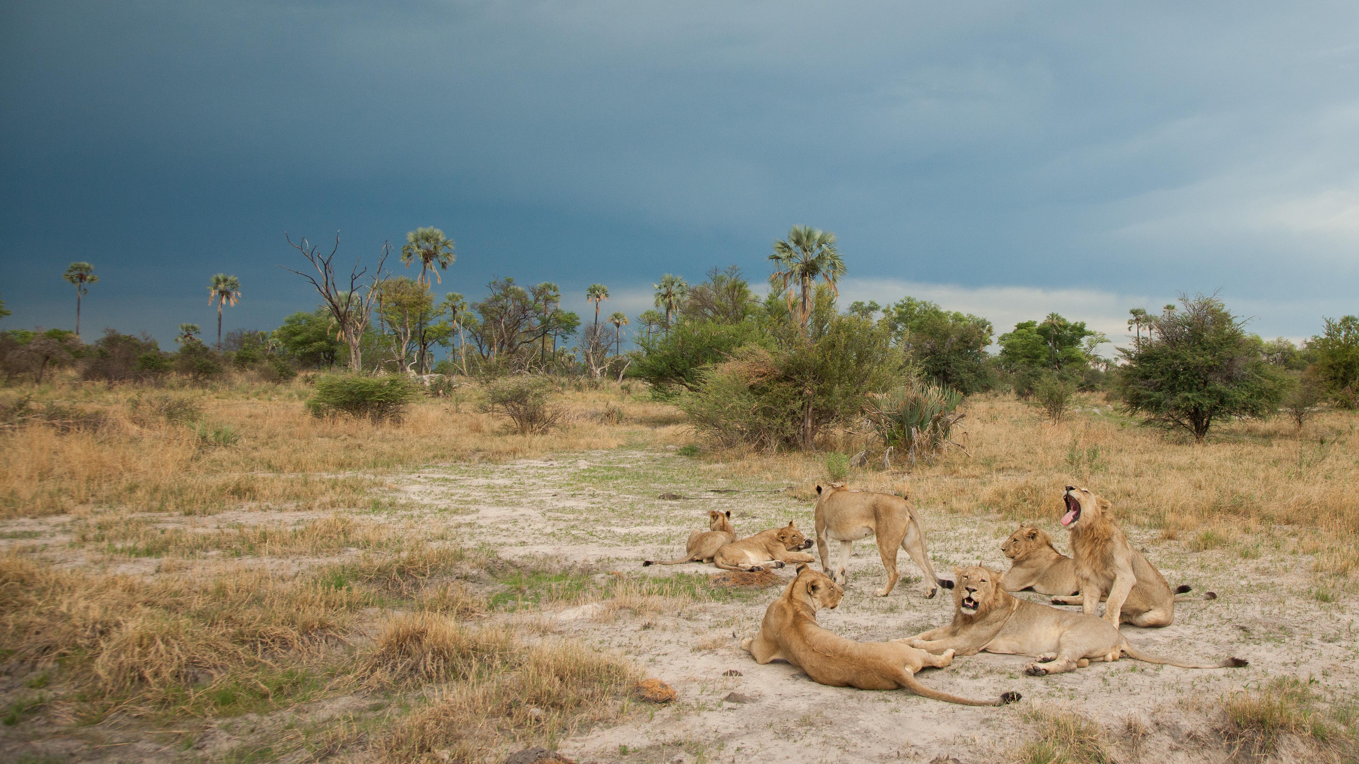 Chitabe Ledibe Camp Botswana Lions