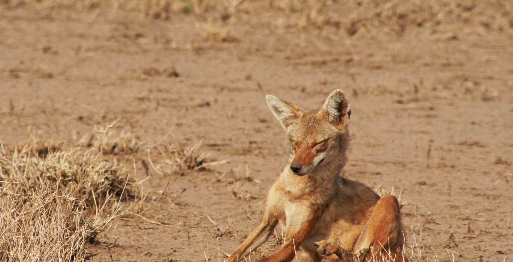Ethiopia-Awash-Alledeghi-Wildlife-Jackal