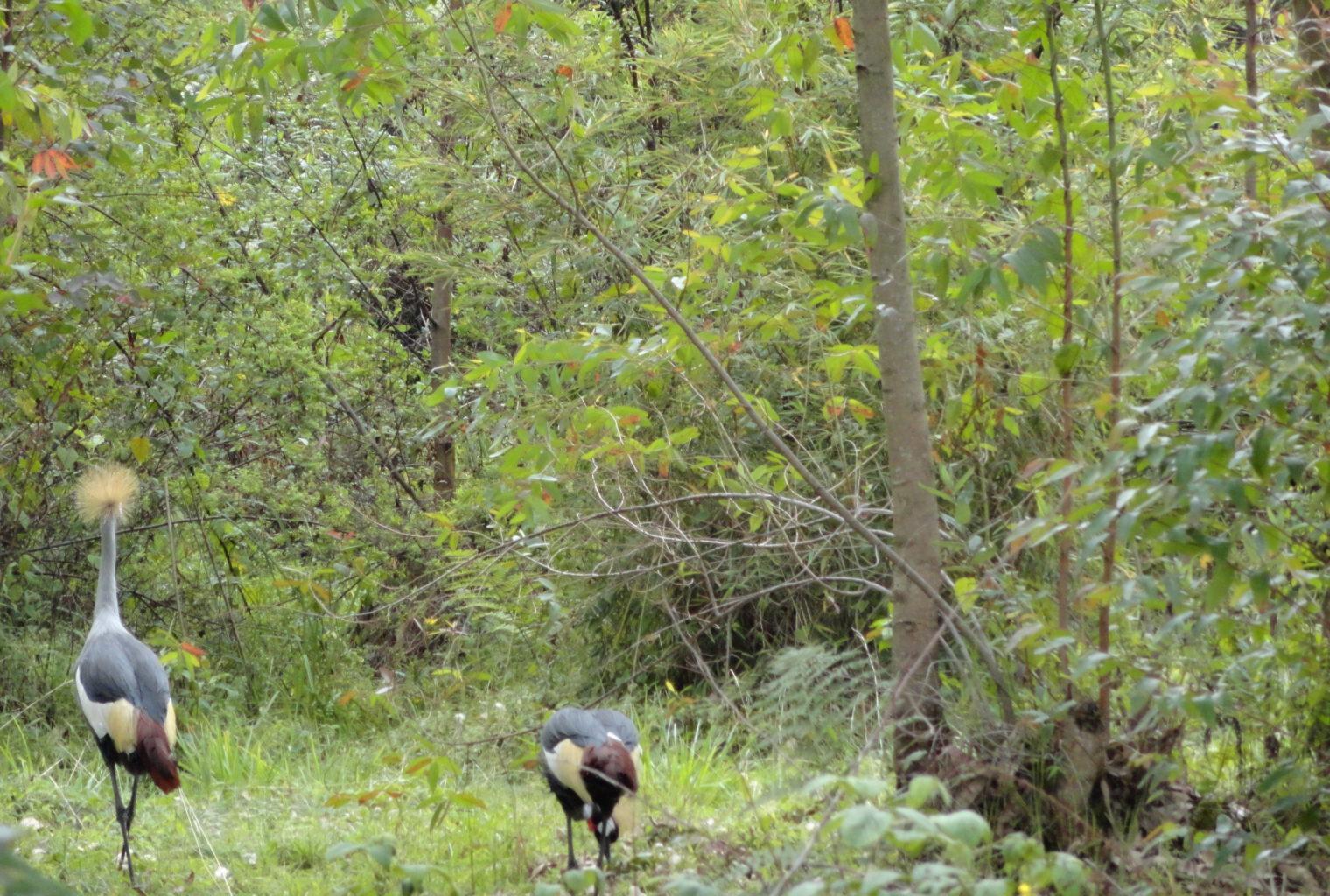 Mountain Gorilla View Rwanda Animal