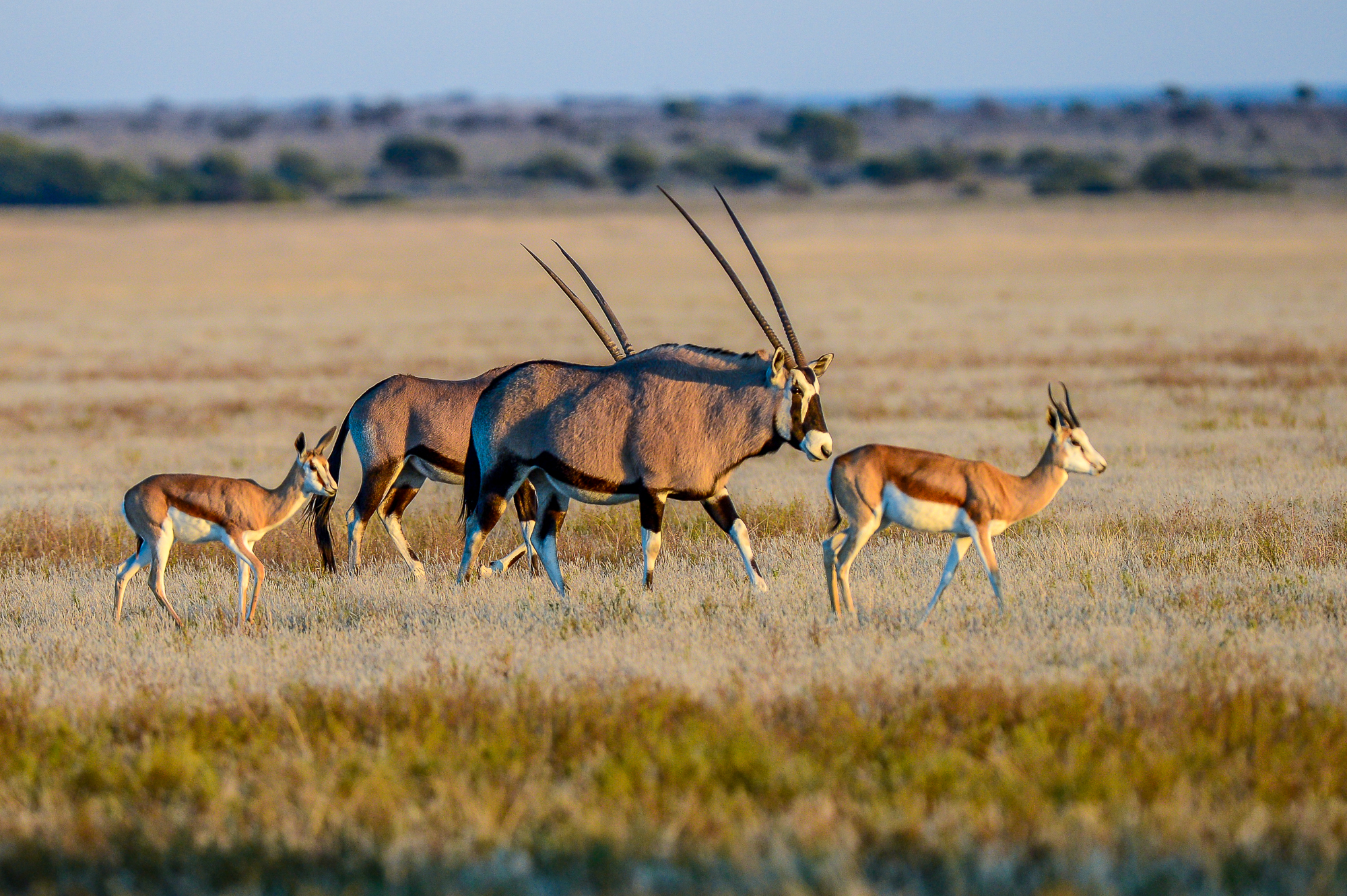 Tau Pan Botswana Oryx