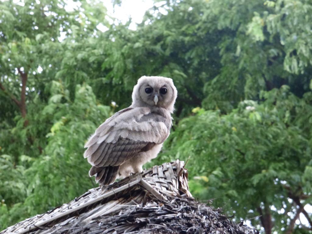 Eagle Owl Tanzania Rivertrees