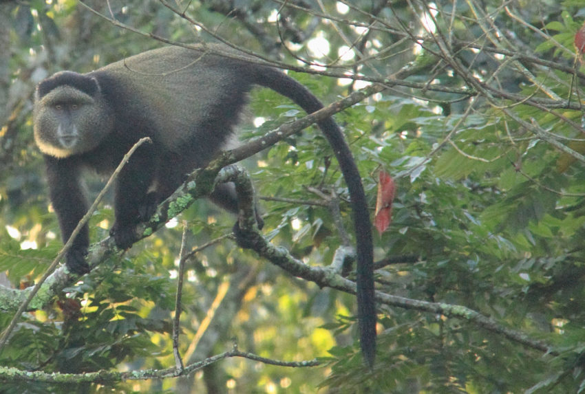 GoldenMonkeyRwanda