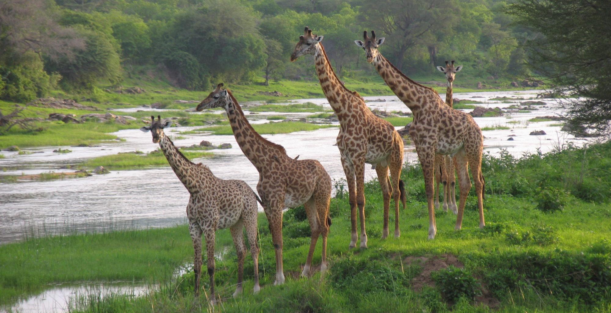 Tanzania-Ruaha-National-Park-Giraffes