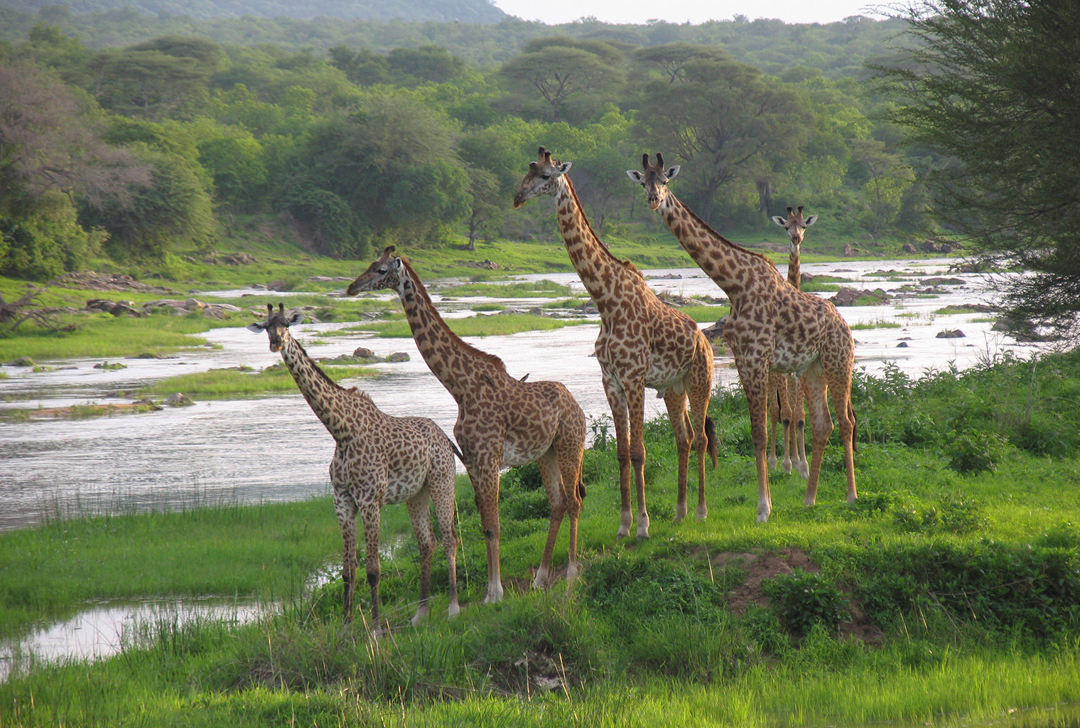 Jongomero-Tanzania-Giraffes