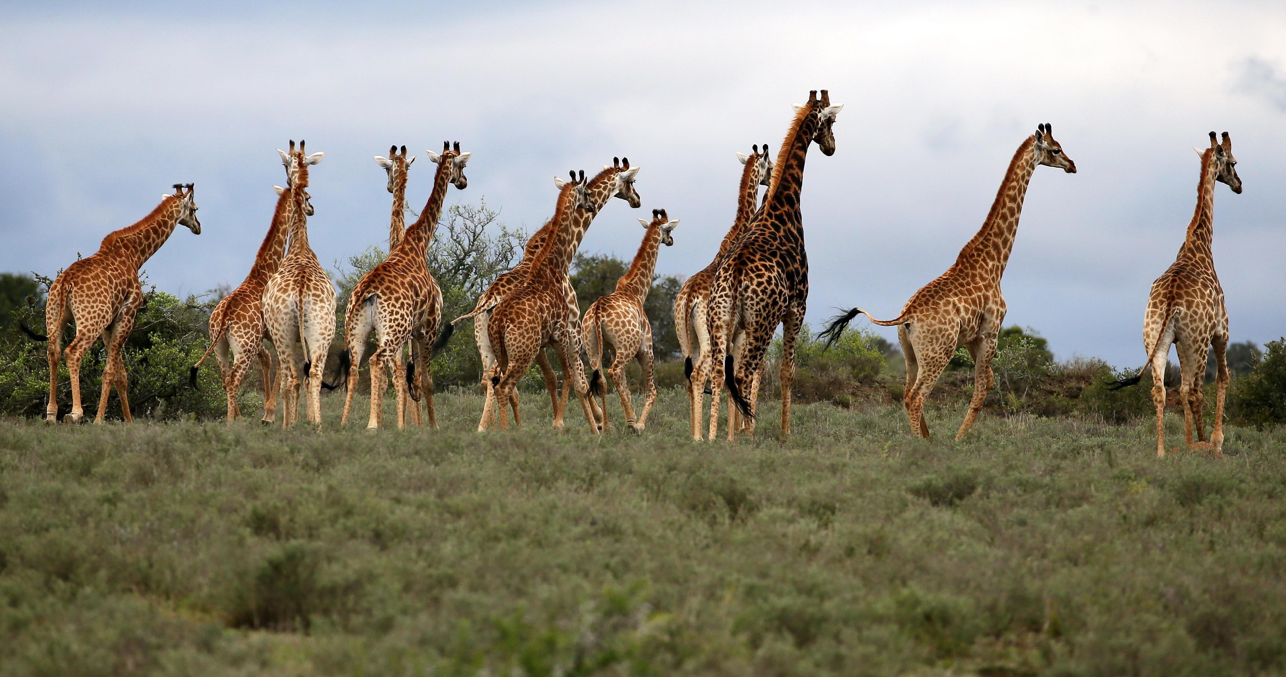 Uplands-Homestead-South-Africa-Giraffe