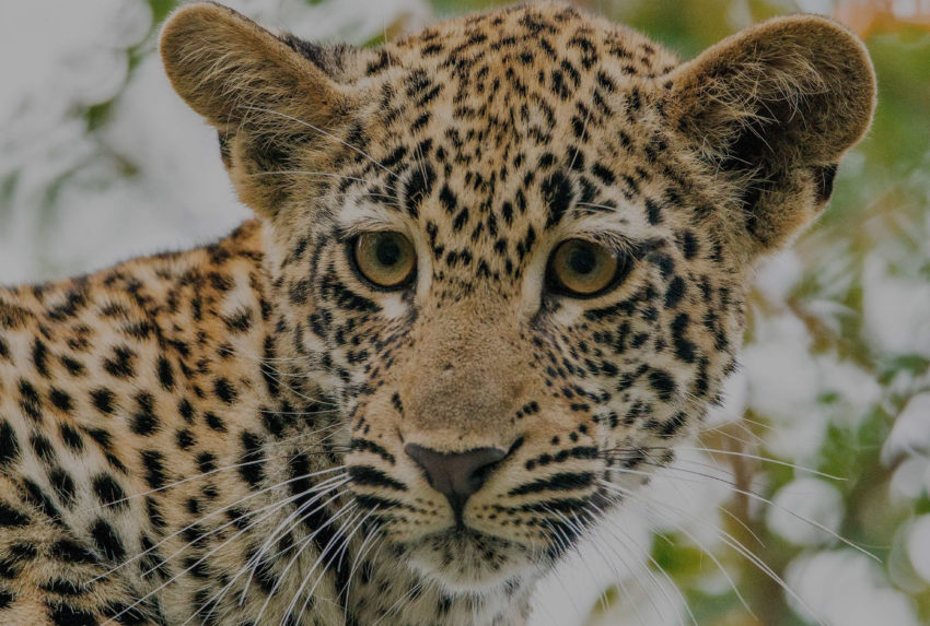 Leopard-Krueger-National-Park-South-Africa-Tinted-Hero