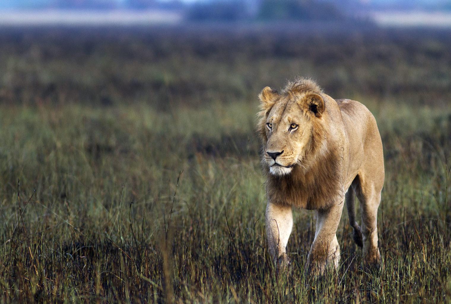 Botswana, Okavango Delta, Kwetsani Lion