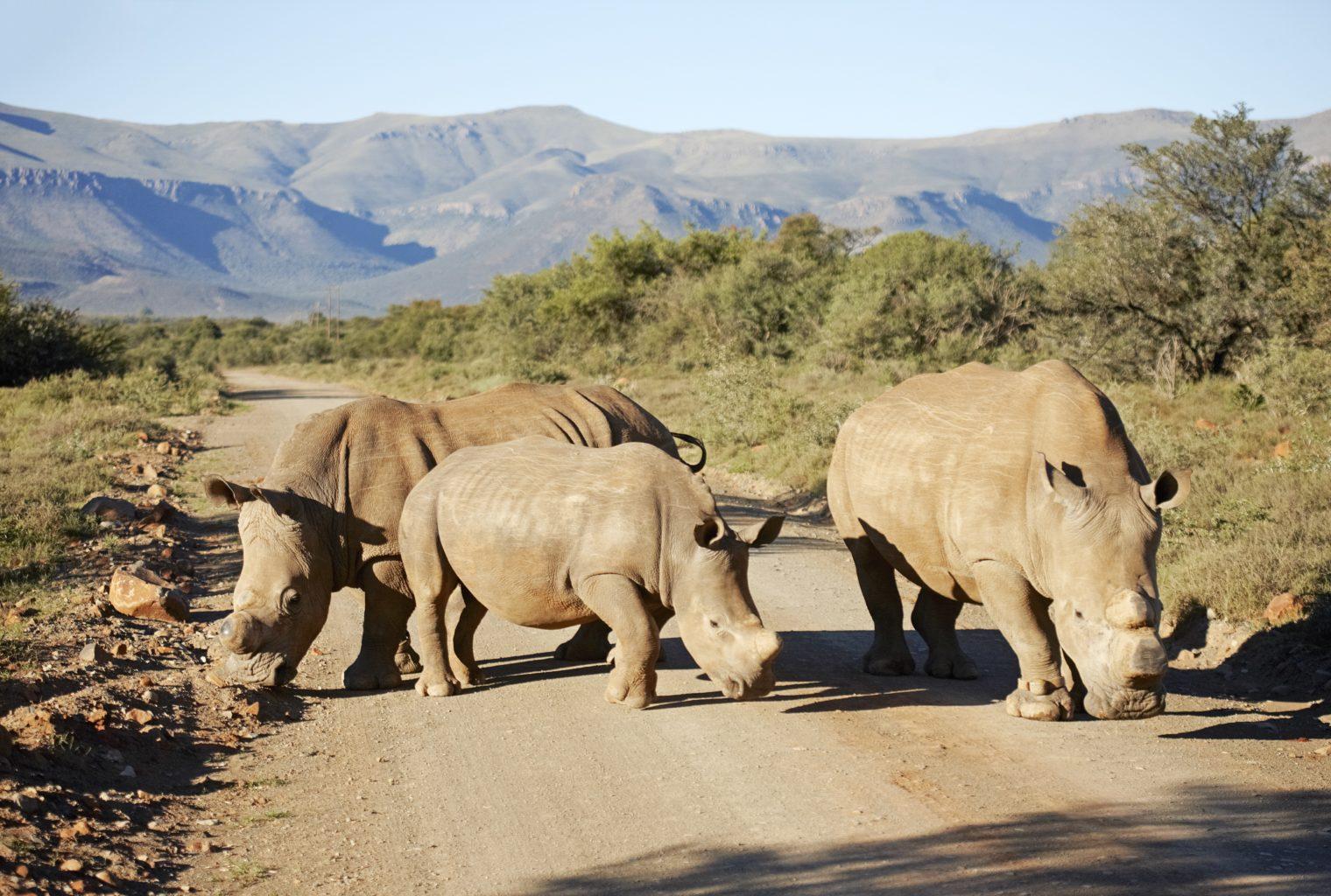 Rhinos in The Great Karoo
