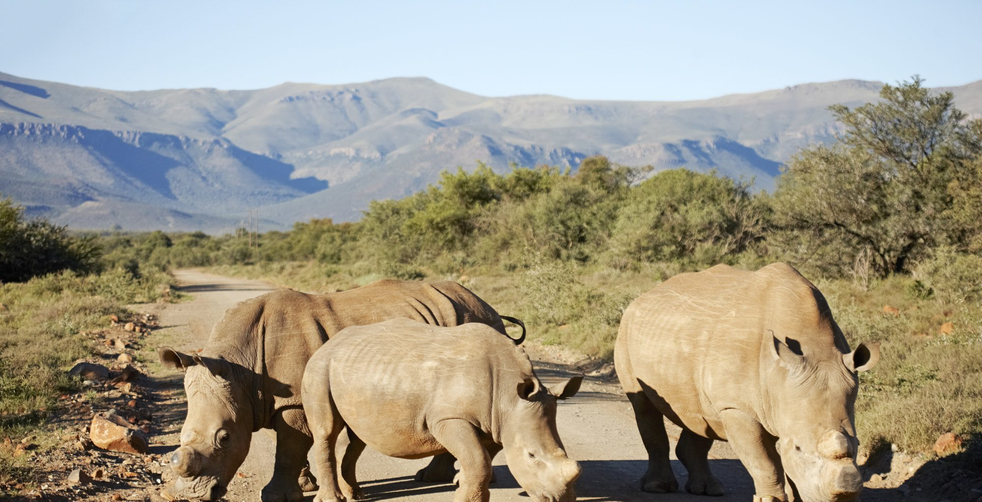 Rhinos in The Great Karoo