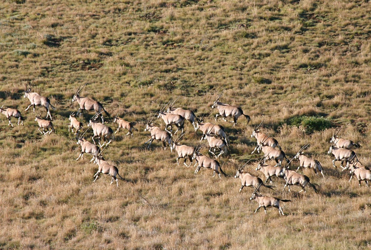 Oryx in flight in The Great Karoo