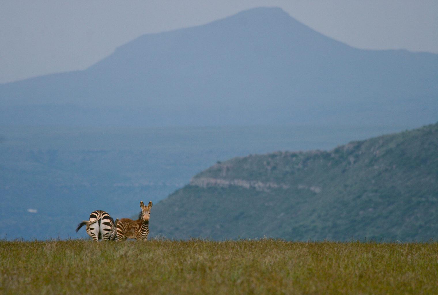 Zebra in The Great Karoo