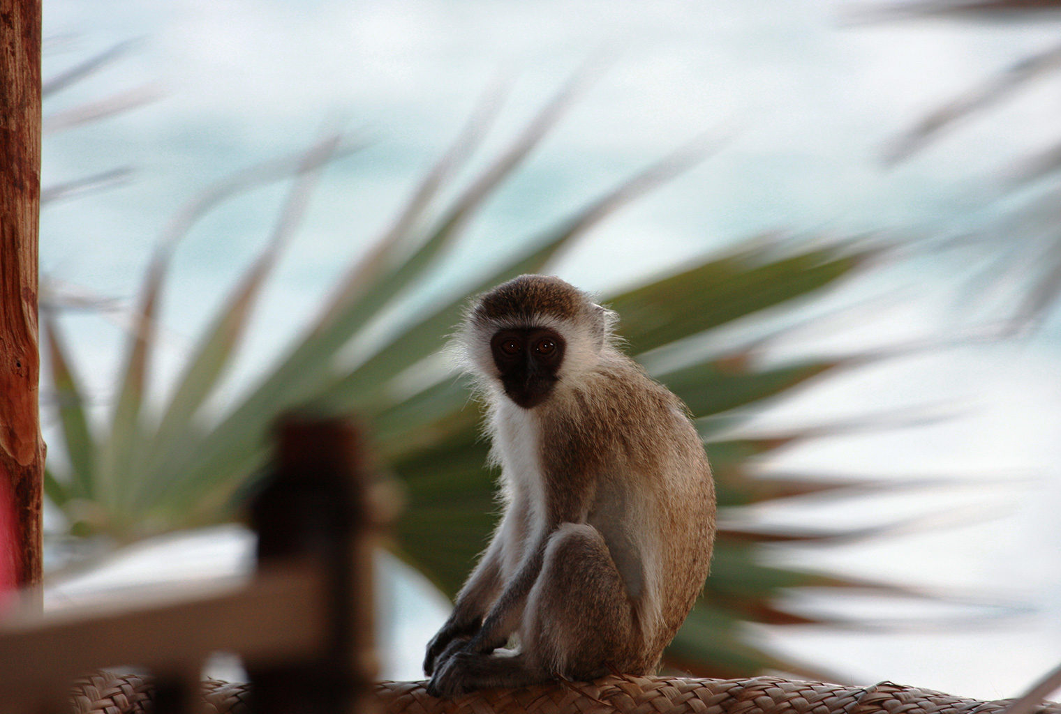 Mainland-Coast-Kenya-Monkey