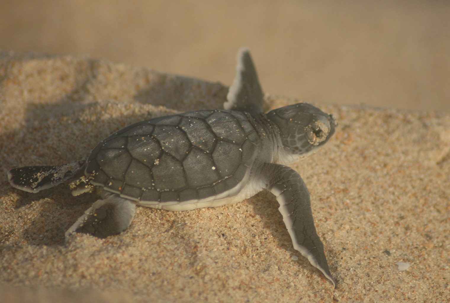 Mainland-Coast-Kenya-Turtle