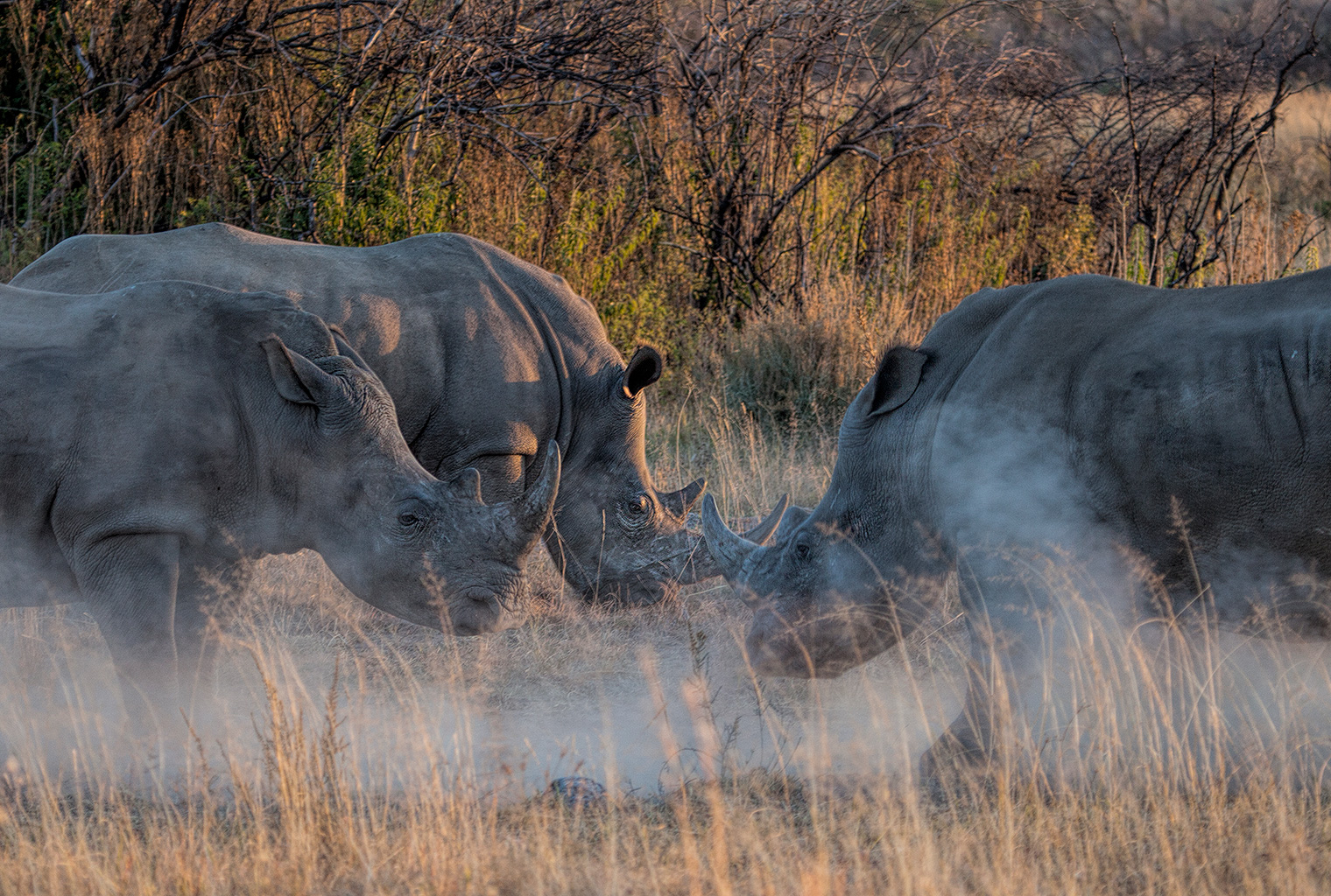 Makweti-Safari-Lodge-South-Africa-Rhinos