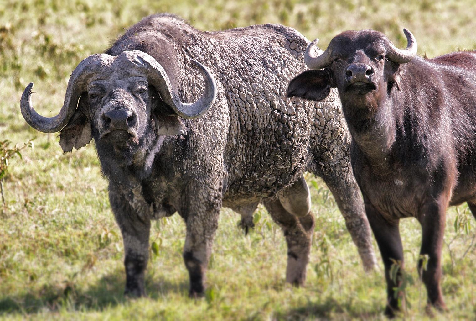 Masaai-Mara-Area-Buffalo-Soldier