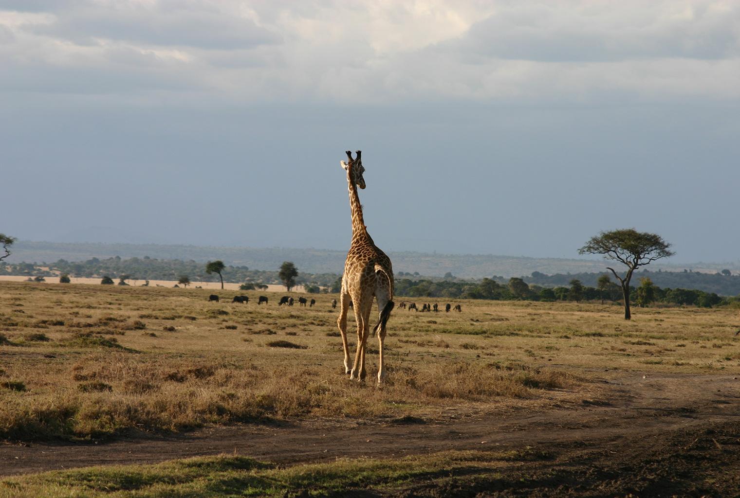 Masaai-Mara-Area-Giraffe