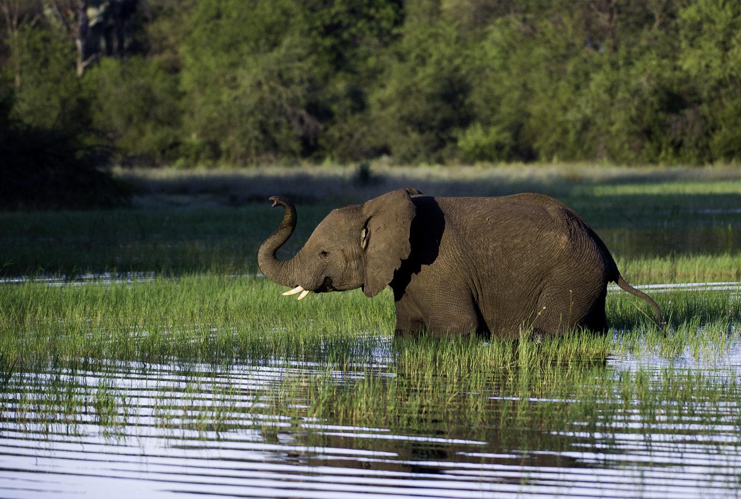 Jacana Botswana Elephant