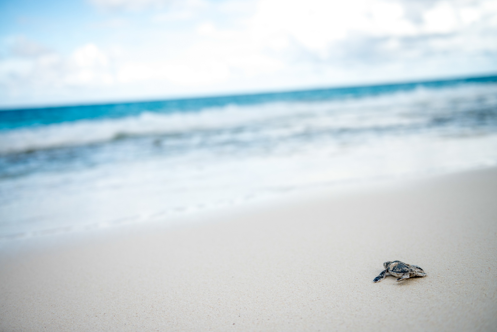 North Island Seychelles Turtle