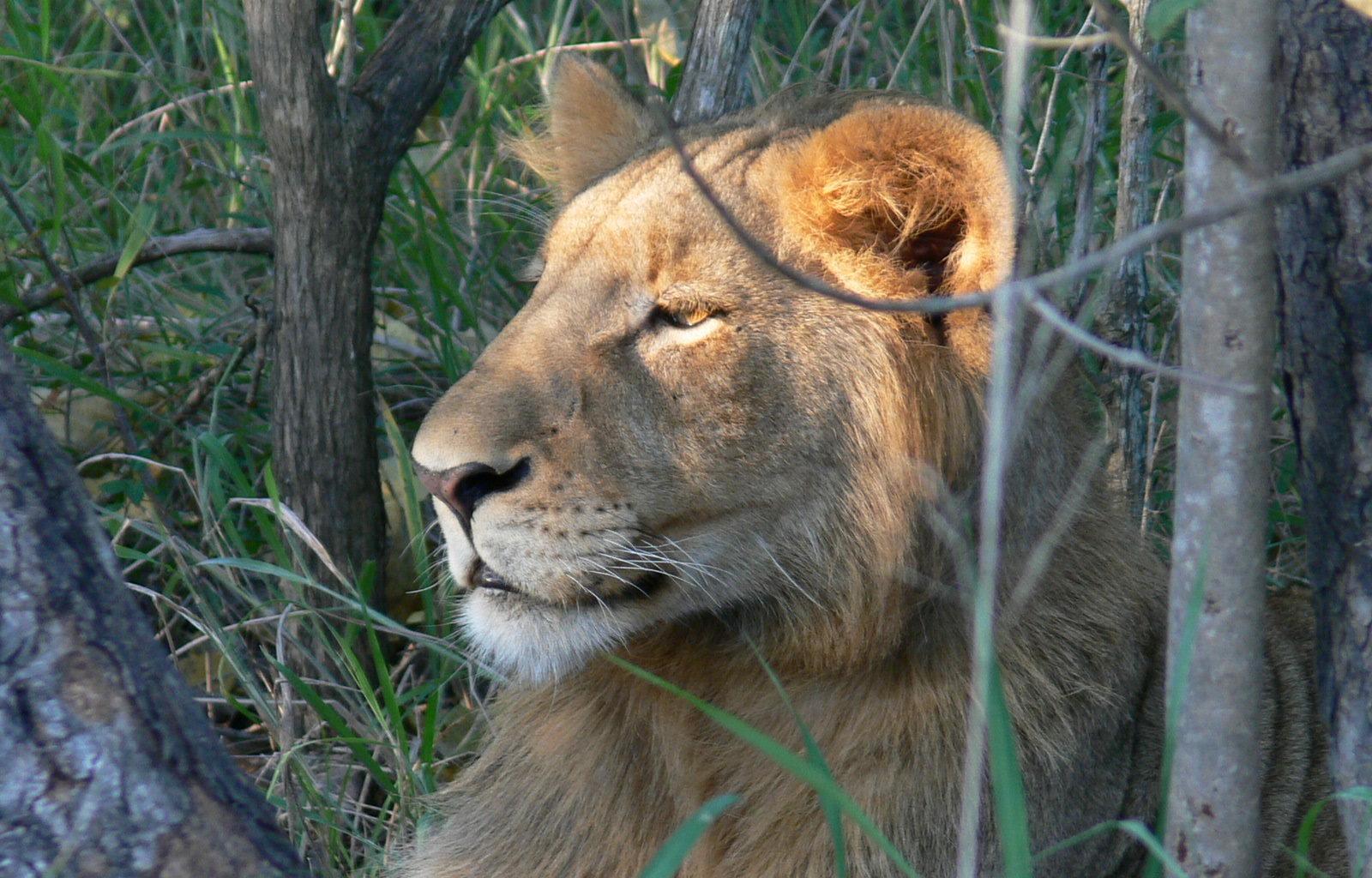 Royal Malewane South Africa Lion