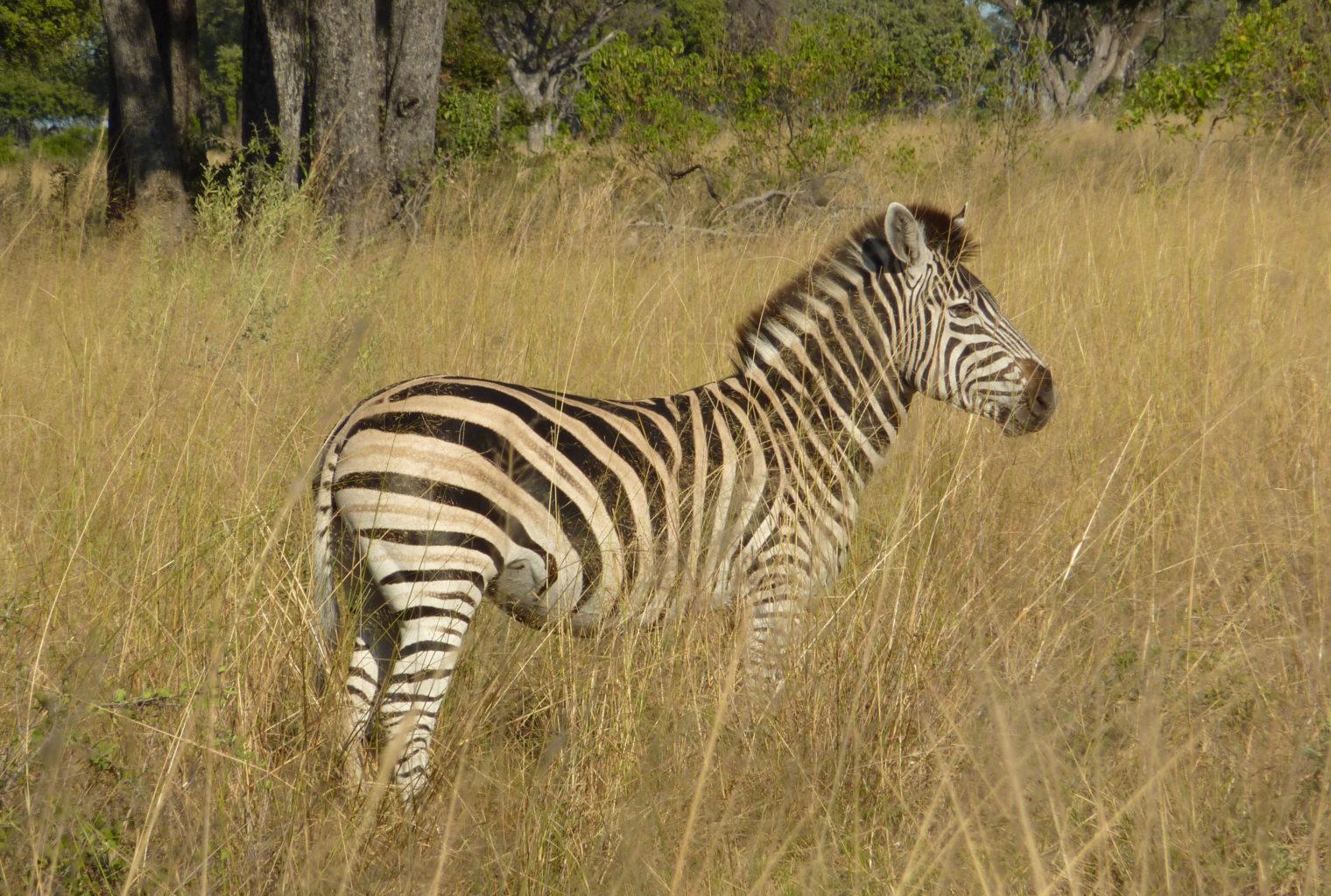 Shinde Botswana Zebra