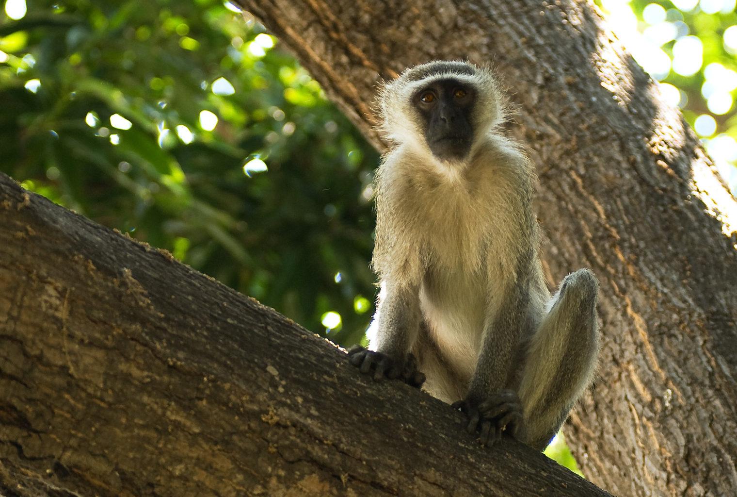 Lake Malawi Monkey Malawi
