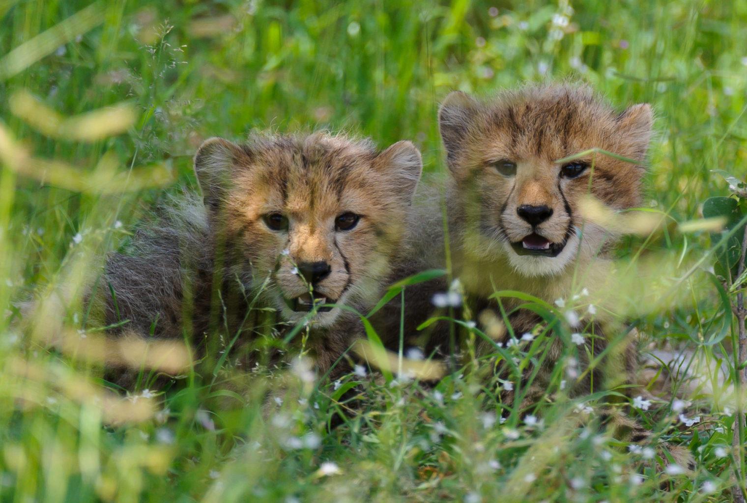 Botswana, Chitabe Camp, Cubs