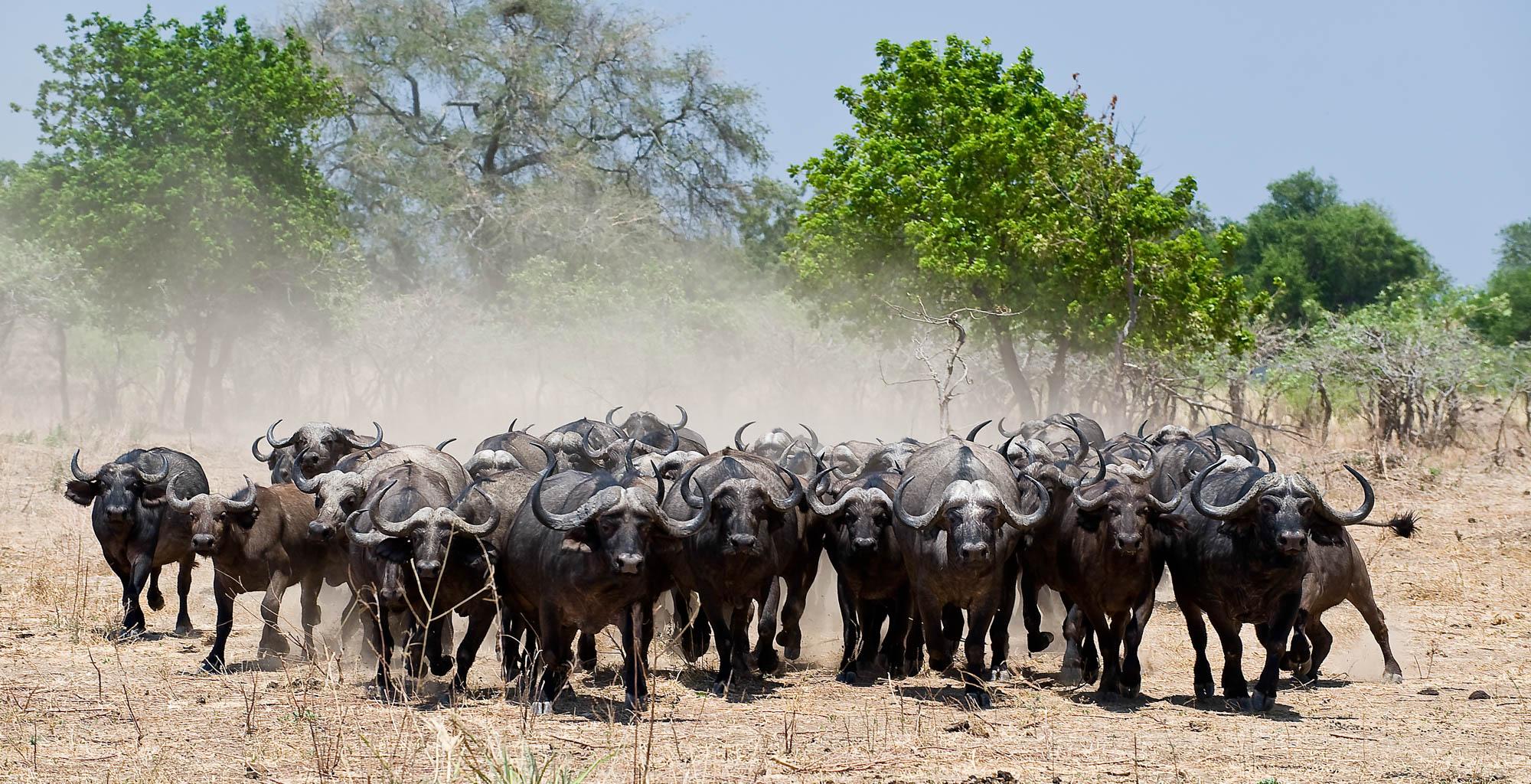 Zimbabwe-Mana-Pools-Wildlife-Buffalo