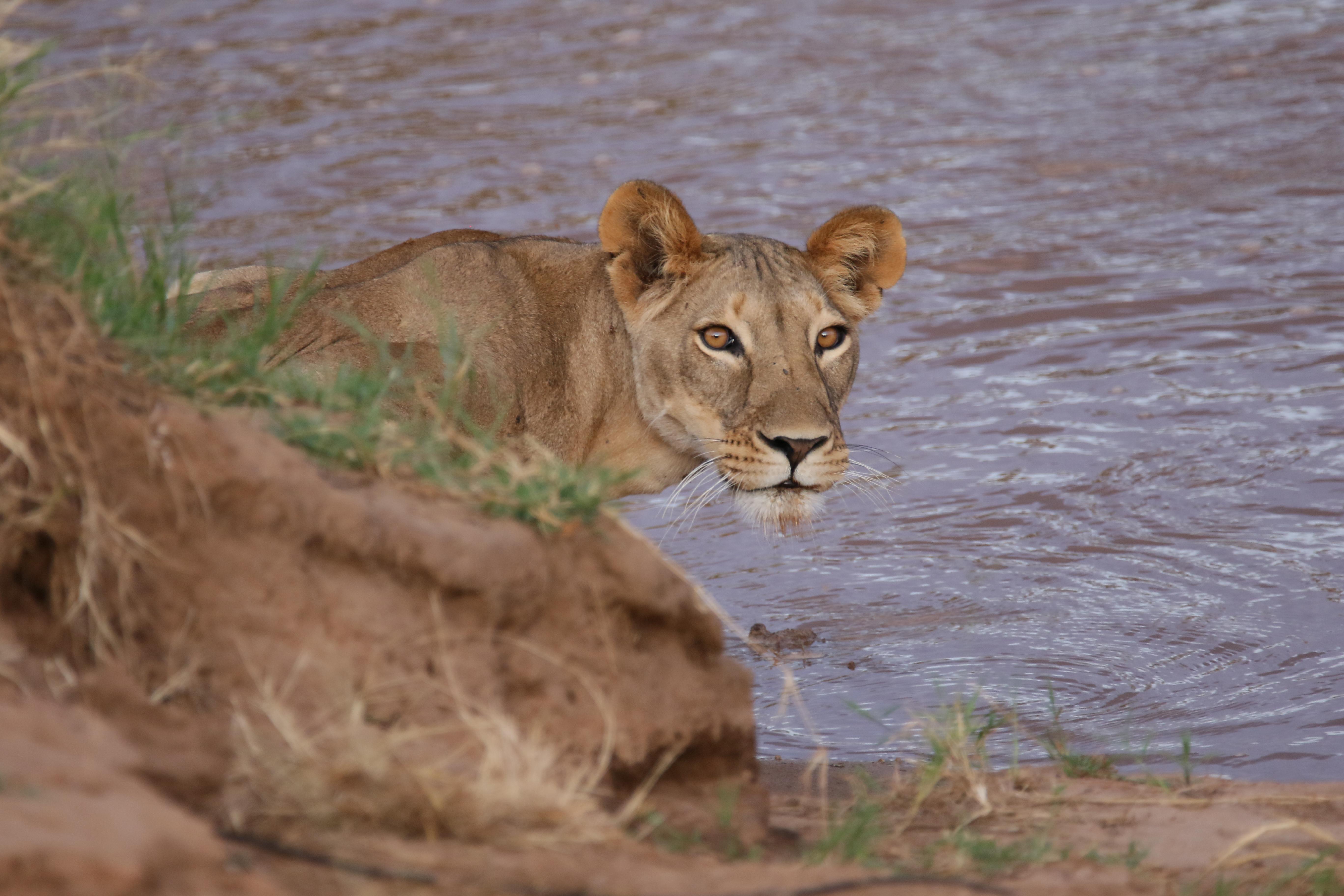 Saruni Samburu Kenya Lion