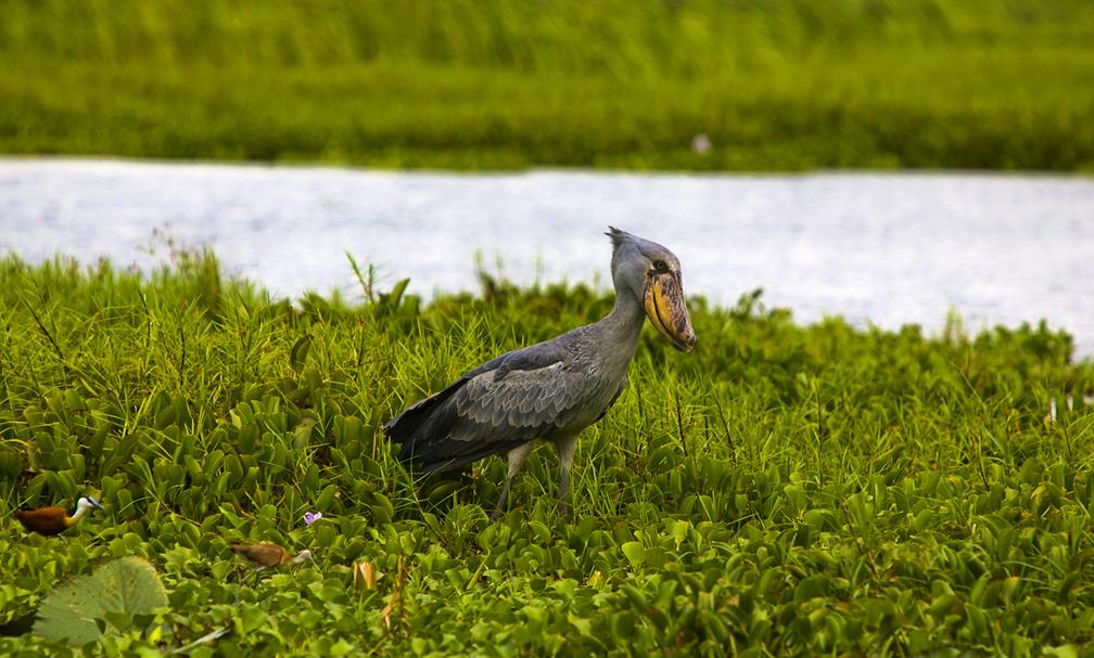 Semliki Uganda Shoebill Image