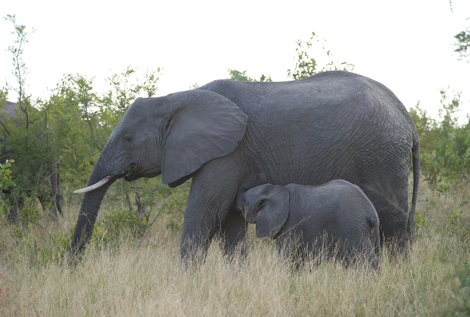 Singita-Boulders-Lodge-South-Africa-Elephant