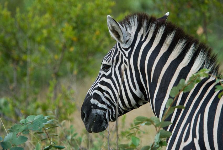 Singita-Boulders-Lodge-South-Africa-Zebra