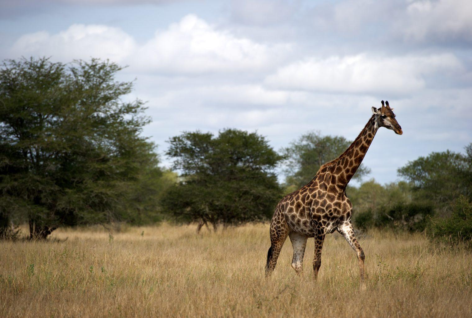 Singita National Park Giraffe