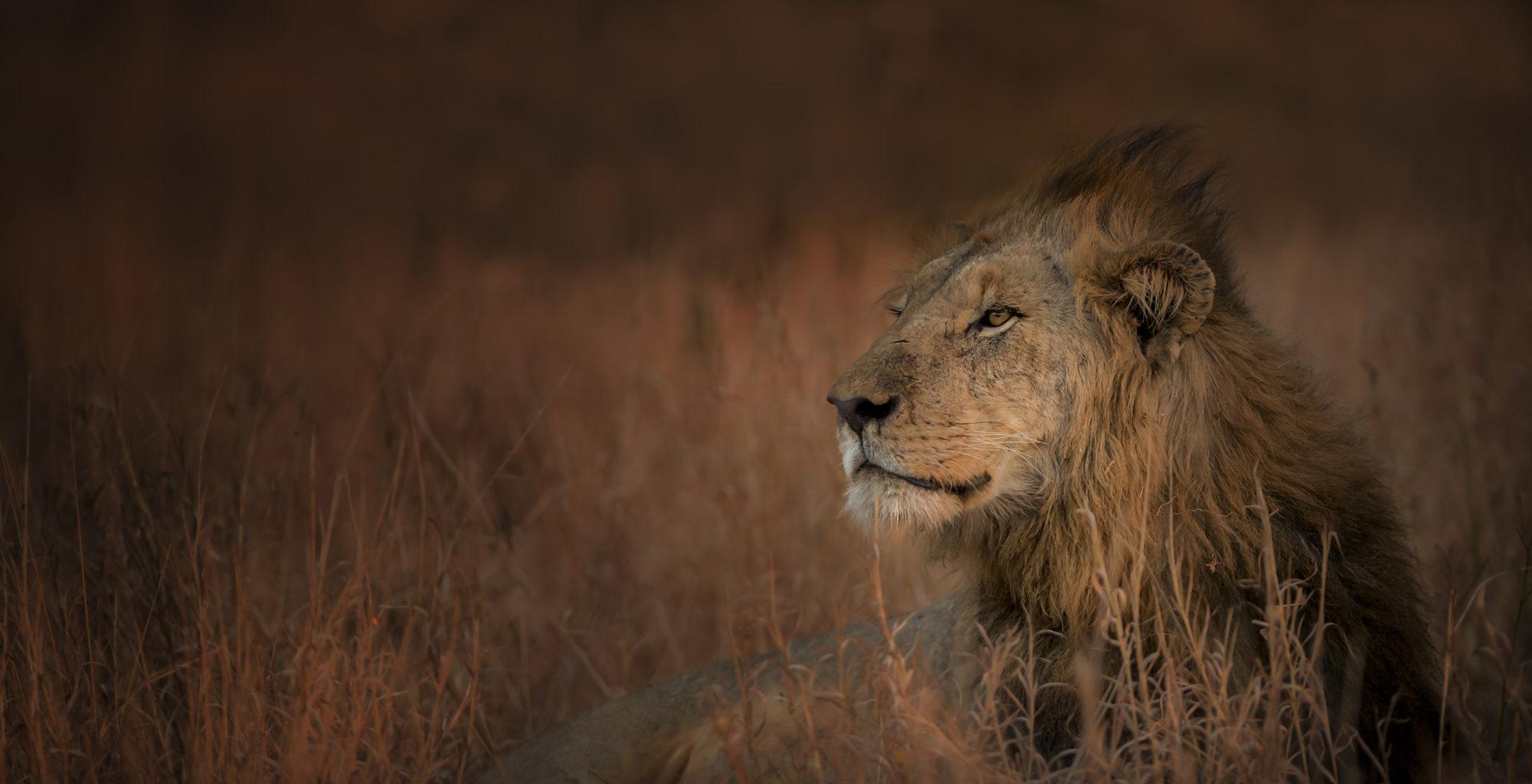 Singita National Park lion