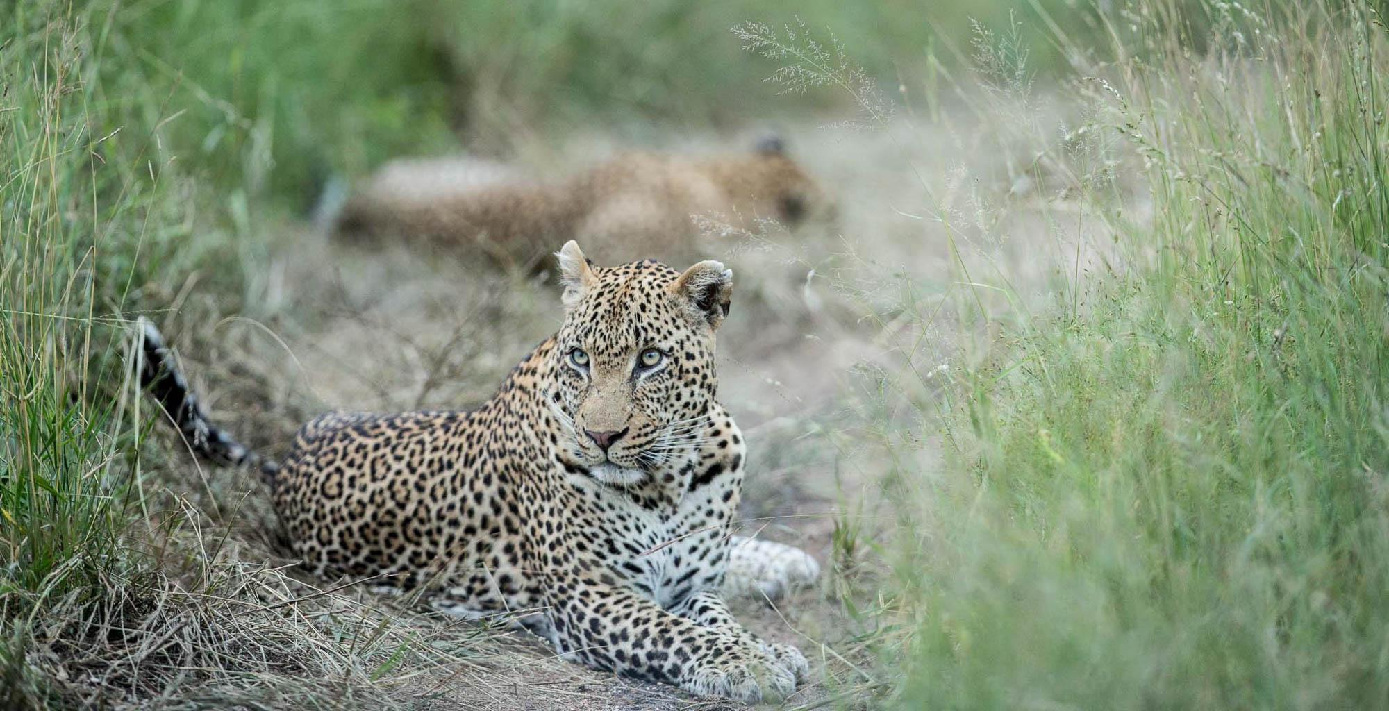 Zimbabwe-Malilangwe-Leopard